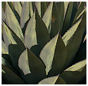 Gomez Peak agave in the mid-winter sun in New Mexico near Hearst Church Pinos Altos